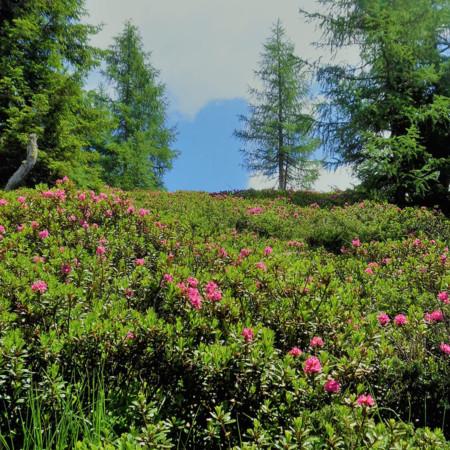 altri rododendri