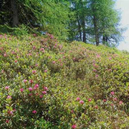 i rododendri del Monte Spina